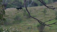 It's the legend that refuses to die. Rumours have circulated for decades about a mysterious panther-like cat roaming bushland fringes in NSW. Last Saturday, a startled couple from Goulburn became the latest witnesses to shoot a grainy, quick-fire frame of the large feline predator – which they insist was a […]