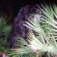 The Skunk Ape is a hominid cryptid said to inhabit the Southern United States, from places such as North Carolina and Arkansas, although reports from Florida are most common. It is named for its appearance and for the unpleasant odor that is said to accompany it. According to the United […]