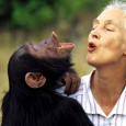 The most famous primatologist in the world is ape about Bigfoot. Jane Goodall made her name studying chimpanzees in Africa and by discovering that they, like humans, use tools. Since then, she has been working to preserve their decreasing numbers via the Jane Goodall Insititute. She also admitted to an […]