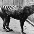 """Strange odours, """"yip yip"""" noises and shuffle walks are all clues that point to the thylacine's existence in Tasmania, according to witnesses. The Department of Primary Industries, Parks, Water and Environment has released a list of thylacine witness statements, made by residents and visitors to the island, that date back […]"""