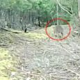 A TEAM of Tasmanian thylacine trackers has released footage of what they believe is proof a population of thylacines continues to live in the island state. The series of images and videos, taken at a secret location in southern Tasmania, are being touted as the most reliable evidence that Tasmanian […]
